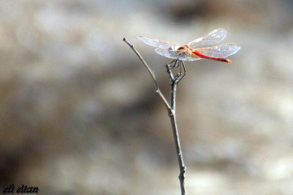 שפירית צבעונית ביער עזריקם - צילום: אפי אליאן