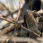 בוחנת את הסביבה - זיקית ביער עזריקם - צילום: אפי אליאן