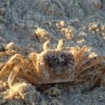 סרטן המתחמם לאיטו בשמש הקיצית בניצנים - צילום: אפי אליאן