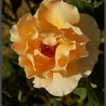 גוונים נדירים של ורדים בגן מהאוול לורדים בירושלים - צילום: אפי אליאן