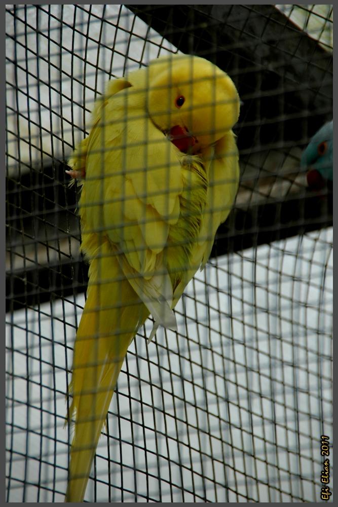 דררה צהובה