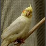 קוקטיל צהוב