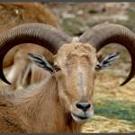 כבשי ברבריס
