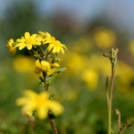 פריחה צהובה (סביון) בשטח שמורת הטבע של נחל אלכסנדר