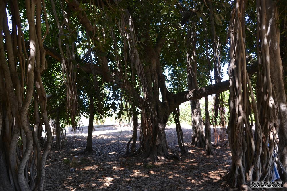 """עץ הפיקוס הבנגלי המפורסם של בי""""ס מקוה ישראל"""