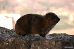 שפן סלעים מיני רבים שנמצאים בשטח מצודת נמרוד
