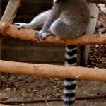 למור חום בפארק הקופים בבן שמן