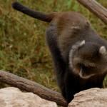 גונון לבן סנטר בפארק הקופים בן שמן