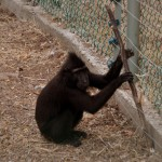 מנסה לברוח דרך הגדר החשמלית בפארק הקופים בן שמן