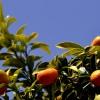תפוז וושינגטון בפרדס מינקוב