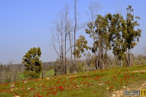 פריחה אדומה ביער בארי - צילום: אפי אליאן
