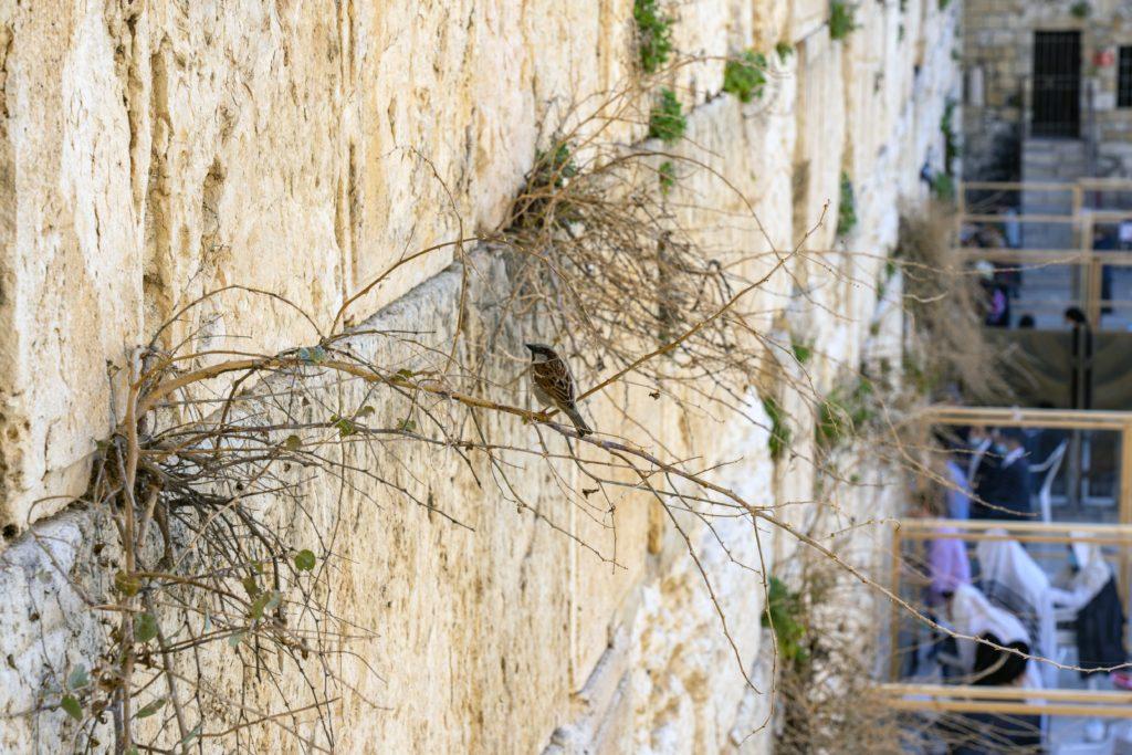 צמחייה ובעלי כנף המקוננים בין אבני הכותל המערבי - צילום: יניב ברמן